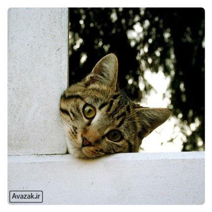 [تصویر:  Avazak_ir-Cat10.jpg]