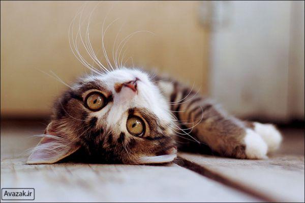 [تصویر:  normal_Avazak_ir-Cat11.jpg]
